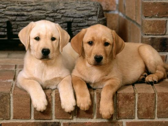 Labrador retrievers double